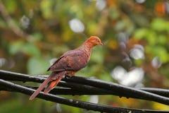 O cuco pequeno masculino mergulhou pássaro, pombo do marrom avermelhado que empoleira-se em c Imagem de Stock
