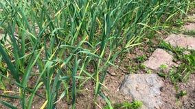 O cultivo e a agricultura, alho novo crescem no jardim Brotos verdes do broto novo do alho video estoque