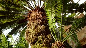 O Cycad pertence a uma família que forneça certamente o alimento para os dinossauros É famílias de planta muito antigas, pode enc fotografia de stock royalty free