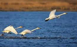 O Cygnus da cisne de Whooper decola imagem de stock royalty free