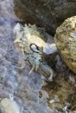 O dactylomela do Aplysia pasta na rocha na água Lebre de mar manchada Imagem de Stock