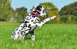 O Dalmatian é dar alta-cinco Imagem de Stock