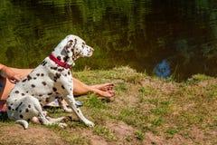 O Dalmatian do cão protege a aeromoça no lago em um dia ensolarado fotos de stock royalty free