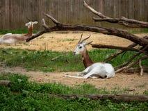 O dama criticamente posto em perigo do nager da gazela do dama descansa em um cerco do jardim zoológico fotos de stock royalty free