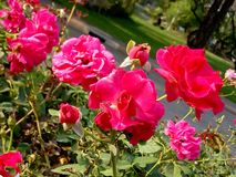 O damasco aumentou flor no parque de Lumpini, Banguecoque imagem de stock royalty free