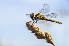 O darter amarelo-voado (flaveolum de Sympetrum) Fotografia de Stock Royalty Free