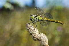 O darter amarelo-voado (flaveolum de Sympetrum) fotos de stock royalty free