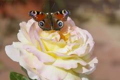 O ` de Gloria Day do ` de Rosa e a borboleta do pavão eye Fotografia de Stock Royalty Free