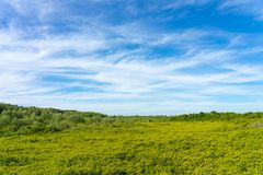 O decandra de Ceriops da floresta dos manguezais igualmente conhecido como os destinos dourados do dente do prado de Rayong, Tail fotos de stock