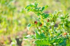 O decemlineata do Leptinotarsa dos besouros de batata de Colorado em um close-up das batatas pragas de inseto, inimigo do ` s do  imagem de stock