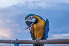 O dedo 2 de atuação do papagaio bonito da arara na vara Fotografia de Stock