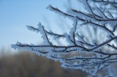 O delicado focalizou cristais de gelo ensolarados no Euonymus Alata Compacta Fotos de Stock