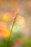 O delicado focalizou da grama com um fundo colorido Imagem de Stock