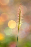 O delicado focalizou da grama com um fundo colorido Fotos de Stock