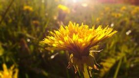 O dente-de-leão amarelo Imagens de Stock Royalty Free