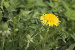 O dente-de-leão amarelo floresce com as folhas na grama verde Foto de Stock
