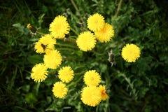 O dente-de-leão amarelo floresce com as folhas na grama verde, fundo do verão da mola com flters da foto fotos de stock