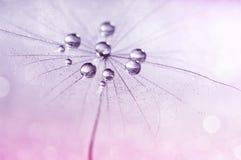 O dente-de-leão com água deixa cair nas máscaras do rosa Imagens de Stock Royalty Free