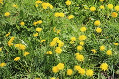 O dente-de-leão floresce o amarelo em um fundo da grama verde Fotos de Stock Royalty Free