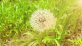 O dente-de-leão no fundo da grama verde, conceito da flor levemente branca da mola está vindo, movimento do movimento lento com l filme
