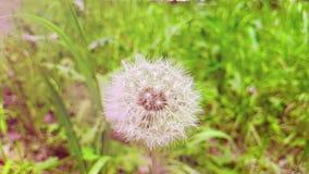 O dente-de-leão no fundo da grama verde, conceito da flor levemente branca da mola está vindo, movimento do movimento lento com n video estoque