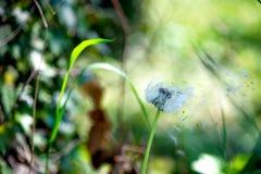 O dente-de-leão semeia o sopro através de um fundo verde fresco Foto de Stock