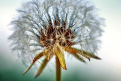 O dente-de-le?o florescido na natureza cresce da grama verde foto de stock