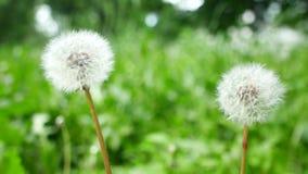 O dente-de-le?o florescido na natureza cresce da grama verde video estoque