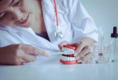 O dentista diagnostica as dentaduras modelo dos dentes com escova de dentes, conceito do controle do higienista dental imagem de stock