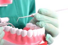 O dentista mostra um modelo para os dentes saudáveis fotos de stock royalty free