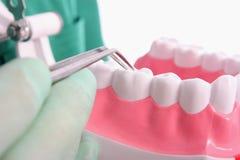 O dentista mostra um modelo para os dentes saudáveis Fotografia de Stock Royalty Free