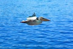 o Der Pelikan im Flug über reinem blauem Wasser Sehr nettes blaues Wasser im Hintergrund lizenzfreie stockfotografie