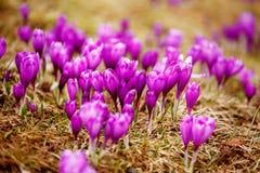 O derretimento da neve da mola e nos vales Carpathian cresce o açafrão alpino bonito das flores Imagem de Stock Royalty Free