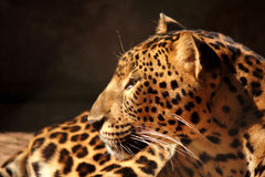 O descanso da pantera do leopardo relaxa Fotografia de Stock Royalty Free