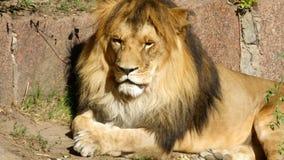 O descanso das mentiras do leão Imagens de Stock