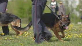 O desempenho da demonstração de cães de polícia, cães-pastor, cães do serviço, cães espertos do serviço, criação de animais de cã vídeos de arquivo