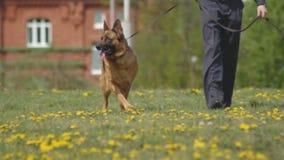 O desempenho da demonstração de cães de polícia, cães-pastor, cães do serviço, cães espertos do serviço, criação de animais de cã filme