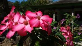 O deserto aumentaram ou o obesum do adenium, flor cor-de-rosa bonita na manhã bonita vídeos de arquivo