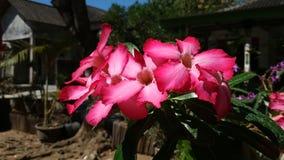 O deserto aumentaram ou o obesum do adenium, flor cor-de-rosa bonita na manhã bonita filme
