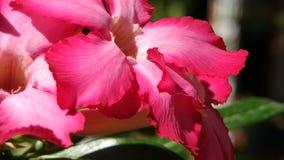 O deserto aumentaram ou o obesum do adenium, flor cor-de-rosa bonita no fundo obscuro natural vídeos de arquivo