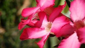 O deserto aumentaram ou o obesum do adenium, flor cor-de-rosa bonita no fundo obscuro natural filme