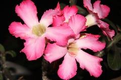O deserto cor-de-rosa aumentou imagens de stock royalty free