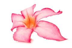 o deserto da flor aumentou bigononia cor-de-rosa do ro isolado no backgrou branco Imagem de Stock