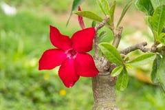 O deserto Rosa é uma flor Adenium do vermelho da flor Imagens de Stock Royalty Free