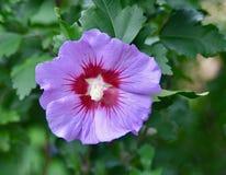 O detalhe de hibiscus roxo e vermelho de Rosa--Sharon floresce Foto de Stock Royalty Free