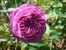 O detalhe de um Bourbon violeta aumentou com as pétalas muito estreitas e particulares Imagens de Stock