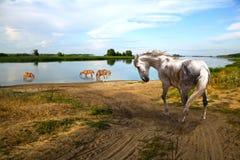 O dia quente do cavalo vai ao rio Imagens de Stock