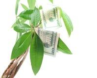 O dinheiro cresce em árvores Fotografia de Stock