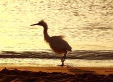 O divertimento disheveled o pássaro da garça-real Fotos de Stock Royalty Free