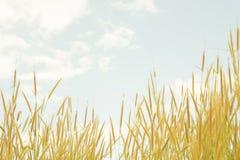 O ` do pedicellatum do Pennisetum do ` das flores da grama no fundo dá uma sensação macia Fotos de Stock Royalty Free
